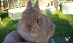 Purebred Male Netherland Dwarf Rabbit For Sale.