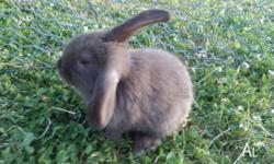 I have one baby rabbit left. Solid chocolate male.