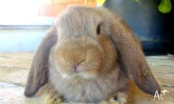 Hi, Caits bunnies has some nice looking dwarf lop