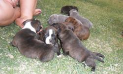 purebred english staffy pups for sale 1x red brindle