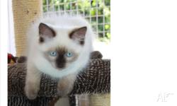 Purebred Female ragdoll for sale Vaccinated /