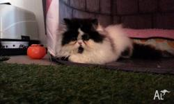 1 black & white spotted male Persian kitten needs good