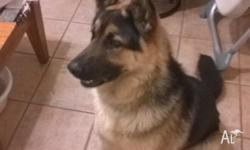 we have a purebred 8 months old German Shepard male