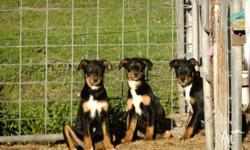 We have four purebred kelpie pups left - be quick!