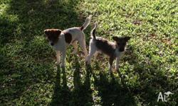 Purebred Jack Russell puppies for sale. Father is a
