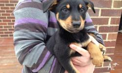 6x Male black and tan kelpie pups for sale. Born