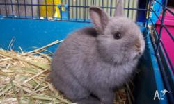 Purebred Male Netherland Dwarf Rabbit For Sale. Lilac