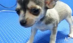 Beautiful, playful 8 weeks old chihuahua ready to go to