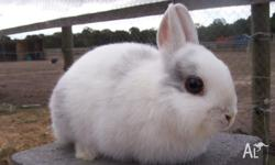 Purebred Netherland Dwarf Rabbit For Sale. Rare Magpie