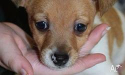 I HAVE ONE MALE TENTERFIELD TERRIER PUPPY FOR SALE. HE