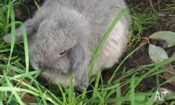 We have one mini lop doe (females) now available for