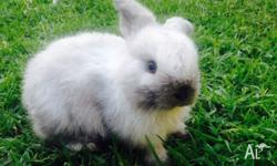 I have 4 baby purebred mini lop rabbits for sale. There