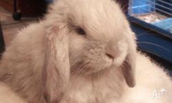 I have a GAWGUS Iron Grey mini lop boy available. He is