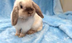 Lola is a 1 year old mini lop girl, looking for her new