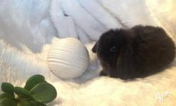 Hi, I have a lovely small purebred mini lop looking for
