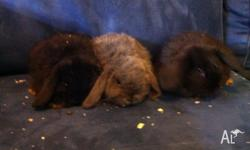Hi I have 3 mini lops for sale. 1 blue buck 1 black
