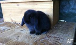 I have 4 purebred mini lops for sale, 1 sooty fawn