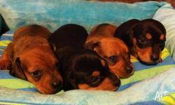1 Red Boy 1 Red Girl ~SOLD~ 1 Black & Tan Girl ~SOLD~ 1