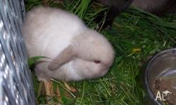 I have purebred minilop Rabbits for sale, they are