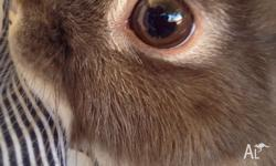 Beautiful, friendly, purebred Netherland dwarf doe for