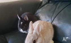 We have got 2 Netherland dwarf baby boy's for sale.