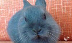PUREBRED NETHERLAND DWARF BABY RABBIT - BEAUTIFUL BLUE