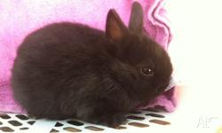 I have for sale two beautiful nethie dwarf rabbits!