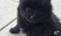 1x Gorgeous Purebred Female Pomeranian Pup | Full
