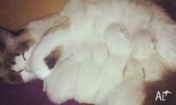 I have 4 gorgeous purebred Ragdoll kittens ready for