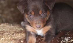 4 red & tan purebred Kelpie puppies available. 1