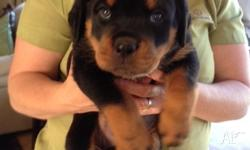 PureBred Rottweiler Puppies for sale. 1 male BobTail. I