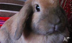 Beautiful sooty fawn mini lop doe, 2 years old.