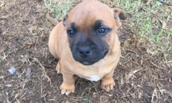 Price: $450 3 male purebred Staffy pups for sale