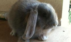 Purebreed dwarf lop rabbits 2 little boys for sale