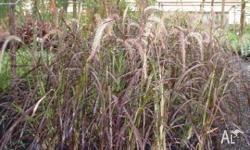 Purple fountain grass available in 20cm pots $15.00