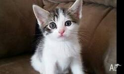 Gorgeous Male kitten looking for a new home. All