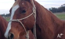 "QH Gelding ""Mouse"" 15hh will mature to 15.2hh"