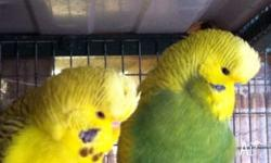Hello, l have 3 x pairs of proven breeding Budgies