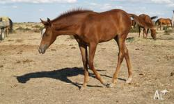 Dawn - (AQHA -A1 reg pending) 2012 Chestnut Filly,