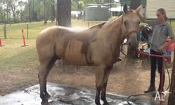 Locky is a quarter horse Buckskin gelding with jessi