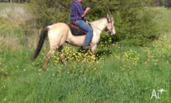 MAX is a 7 year old Qh gelding 15hh good to C,S,F ,been