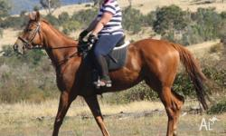 Quiet 8 year Old, 16.3HH Chestnut T/B Gelding up for