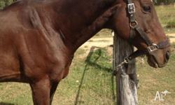 17hh TB gelding, 11yo. Has competed at state level