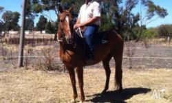 (SUNDANCE) is a qh gelding 8 years young a pleasure to
