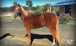 Chestnut gelding, 8 years old and 14.2hh. This boy