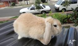 male dwarf lop and hutch $70 he is 4 months old call me