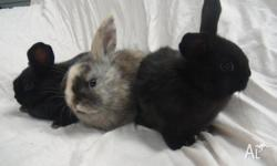 Up for sale For sale we have 7 beautiful Bunnies from 2