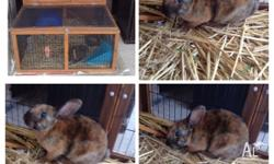 Rabbit and hutch for sale. Not able to take care of it,