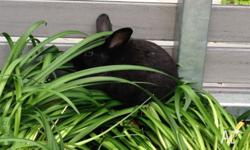 Luther is a black mini lop. He is about 7-8 months old