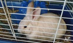 I am selling my rabbit called Frosty with a hutch -